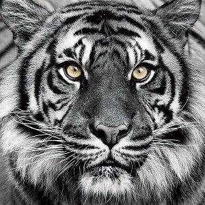 Tiger in Schwarz und weiss