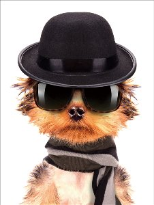 Male dog with bowler hat and sunglasses