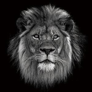 The Lion King in b/w