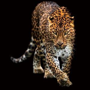 Léopard rampant