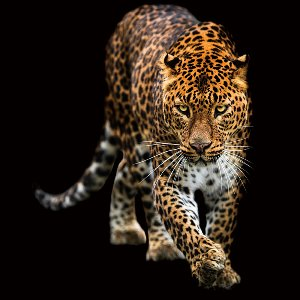 Creeping Leopard