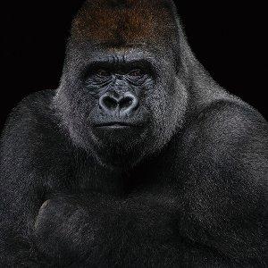 Gorille en noir et blanc