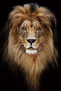 Portrait du Roi Lion