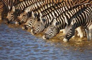 Zebras am Fluß