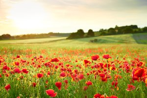 Poppy meadow 2