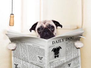 Mops mit Zeitung