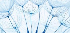Pusteblumen in blau