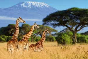 Giraffes in the savannah