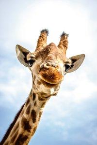 Einsame Giraffe