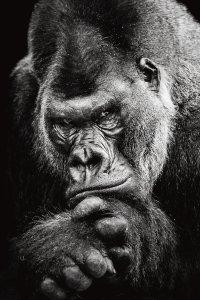 lonesome gorilla