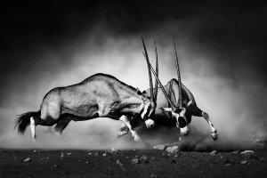2 kämpfende Oryx