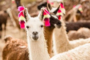 Lama with ear decoration