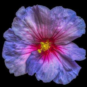 Hibiskusblüte in blau und rosa