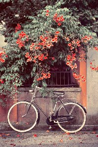 Vélo sous fleurs rouges