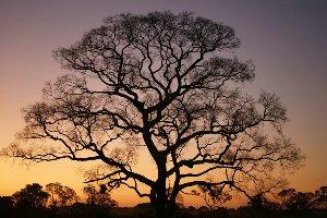 Gigantischer Baum im Sonnenuntergang